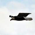 Bald Eagle Flight by Al Powell Photography USA