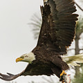 Bald Eagle Flying With Fish by Marc Crumpler