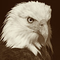 Bald Eagle by Gallery Of Modern Art