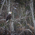 Bald Eagle Guardian Of The Hills by Ray Van Gundy