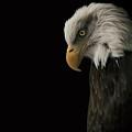 Bald Eagle II by Nathan Larson