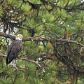 Bald Eagle In A Pine Tree, No. 4 by Belinda Greb