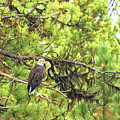 Bald Eagle In A Pine Tree, No. 5 by Belinda Greb