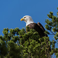 Bald Eagle In A Pine Tree by Robert Potts