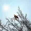 Bald Eagle In A Tree Enjoying The Sunlight by Patrick Wolf