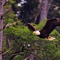 Bald Eagle In Flight - 7 by Christy Pooschke