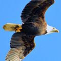 Bald Eagle In Flight by Brian O'Kelly