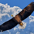 Bald Eagle In Flight Calling Out by Justin Kelefas