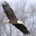 Bald Eagle In Flight by Larry Ricker
