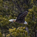 Bald Eagle In Spearfish Canyon by Ray Van Gundy