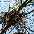 Bald Eagle In The Nest by Cynthia Woods