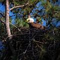 Bald Eagle In The Nest by Warrena J Barnerd