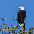 Bald Eagle In The Tree by Terri Morris