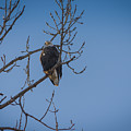 Bald Eagle In Tree by Mike Cox