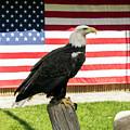 Bald Eagle by Jason Murray
