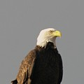 Bald Eagle  by Jeff Swan