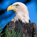 Bald Eagle by John Hyde - Printscapes
