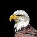 Bald Eagle by John Trommer