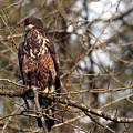 Bald Eagle Juvenile 2 by Sharon Talson