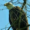 Bald Eagle Keeping Guard by Rosanne Licciardi