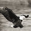 Bald Eagle Landing by John Hyde - Printscapes