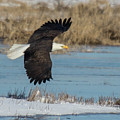 Bald Eagle by Laura Lien