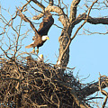 Bald Eagle Leaving The Nest by Roy Williams