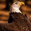 bald eagle looking skyward digial Oil by Chris Flees
