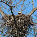 Bald Eagle Lookout  3661 by Jack Schultz