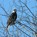 Bald Eagle by Louise Magno