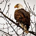 Bald Eagle by Lowell Stevens