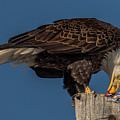 Bald Eagle Lunch by Yeates Photography