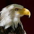Bald Eagle - Majestic Portrait by Sue Harper