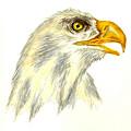 Bald Eagle by Michael Vigliotti