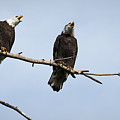 Bald Eagle Music by Chad Davis