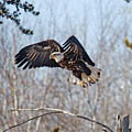 Bald Eagle Near Itasca by Michael Johnk
