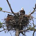 Bald Eagle Nest by Gary Corbett