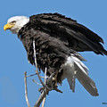Bald Eagle On Cottonwood Tree Branches by Stephen  Johnson