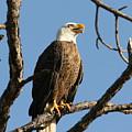 Bald Eagle On Pine Island by Lynn Berreitter
