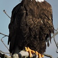 Bald Eagle Perched On Branch On A Windy Day by Joe Lee