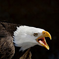 Bald Eagle Portrait 2 by Laurie With