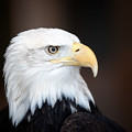 Bald Eagle Portrait by Al  Mueller
