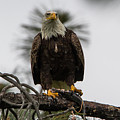 Bald Eagle Protecting His Fish by Marc Crumpler