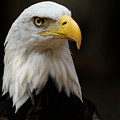Bald Eagle - Proud by Sue Harper