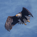 Bald Eagle Ready For A Treat Of Interest by Leslie Reagan -  Joy To The Wild Photos