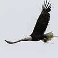 Bald Eagle Returns Home With Nesting Material by Tony Hake