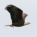 Bald Eagle Returns With Nesting Material by Tony Hake