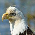 Bald Eagle by Sally Sperry
