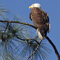 Bald Eagle by Sally Weigand