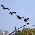 Bald Eagle Sequence  1277 by Jack Schultz